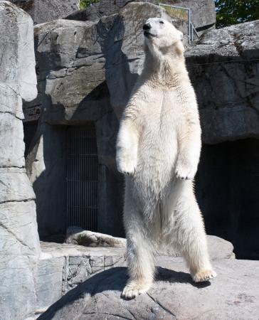 Big polar bear standing up