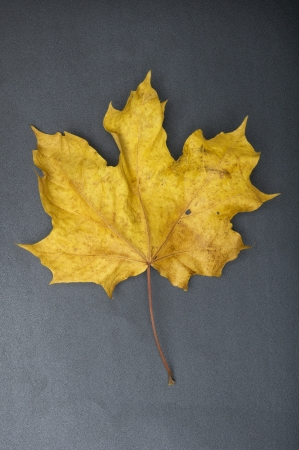 fallen crumpled yellow leaf Stock Photo - 15779222