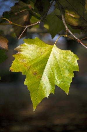 a green leaf hanging on a branch in autumn.