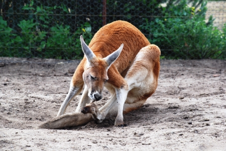 kangaroo cleans its tail