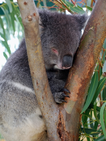 Koala bear sleeping. photo