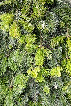 Close up of some fir branches