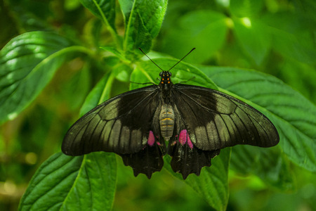 Incredible black and lilac butterfly