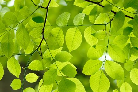 Beautiful green leaves of American Yellowwood Stock Photo - 3216596