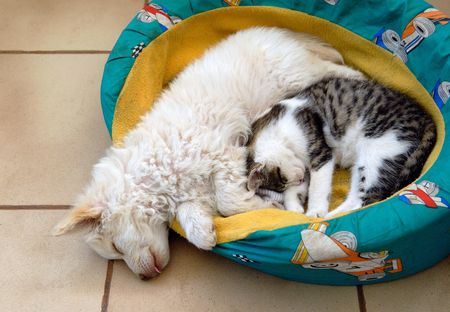 Cat and dog sharing bed photo