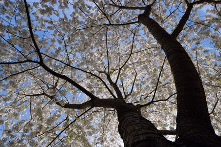 Low angle view of a blooming cherry tree against blue sky Stock Photo