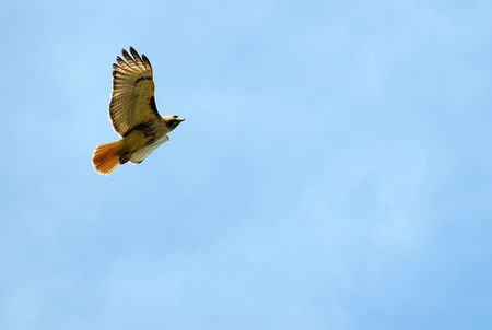 Red tail hawk soaring in blue sky Stock Photo