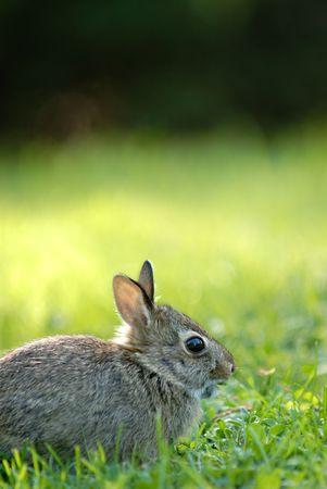 Little wild rabbit