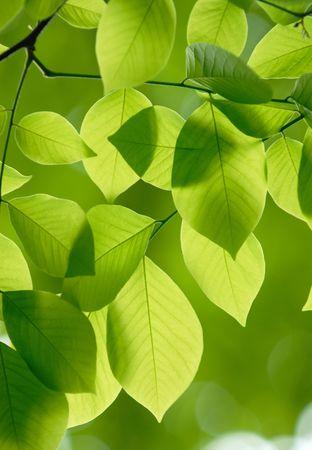 Beautiful green leaves of American Yellowwood