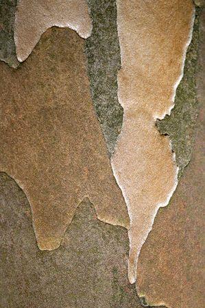 Japanese Stewartia. Tree trunk background
