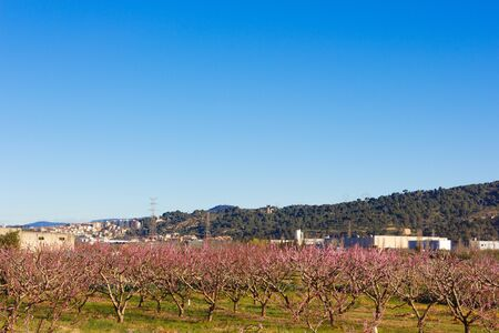Fruit trees in bloom at the beginning of spring and in the background the mountains of Montserrat, in the Baix Llobregat in the province of Barcelona.