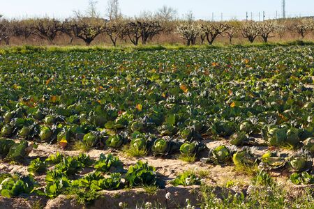Plantation of lettuce and cabbage in the vicinity of the mouth of the Llobregat river in the Baix Llobregat region, in the province of Barcelona, Catalonia, Spain in late winter