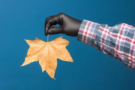 Dry ocher leaf on a blue background and held by the hand of an adult person wearing a black glove to avoid contaminating the purity of the leaf.