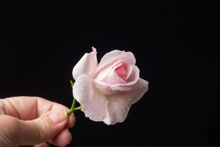 pink rose, flower that symbolizes love, passion, romanticism. Spring flower with a lot of symbolic meaning. In any celebration it is the appropriate flower from the christening, wedding or death.