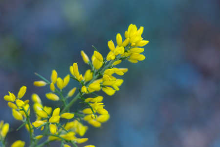Yellow twig in the Mediterranean mountains of Collcerola. Ginesta, a yellow plant that signals the arrival of spring.