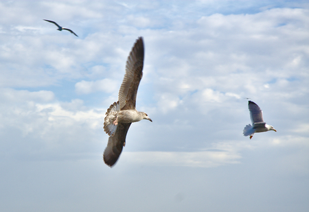 Gulls flying over the sea photo