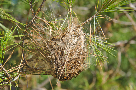 worm infestation: Nest of pine processionary moth with caterpillars on a pine branch Stock Photo