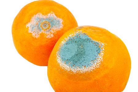 Two moldy and rotten oranges isolated on white background Standard-Bild