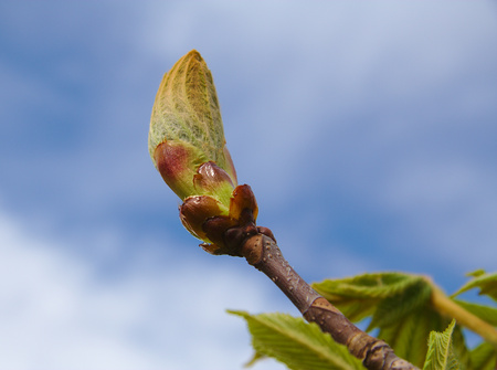 horse chestnut seed: Just born spring leaves of chestnut (Aesculus hippocastanum) on the background of blue sky Stock Photo