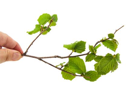 corylus: Man hand holding some leaves of hazel isolated on white background