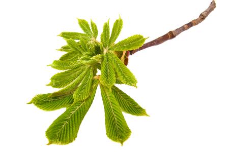 horse chestnut seed: Fresh new chestnut leaves on white background