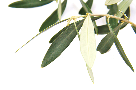 Closeup of olive tree branch isolated on white background