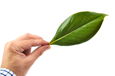 Caucasian man hand holding a green magnolia leaf isolated on white background