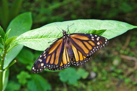 viceroy: Limenitis archippus, Viceroy butterfly or Monarch butterfly on  green leave Stock Photo