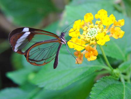 투명 날개를 가진 그레타 오투 나비가 꽃을 먹는다.