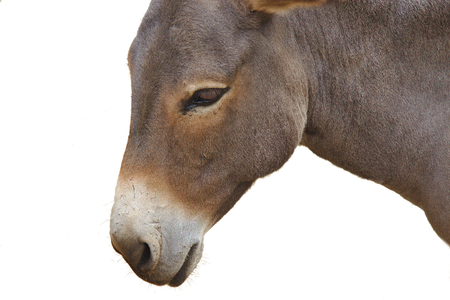 jack ass: Close up of a donkey head isolated on white background Stock Photo