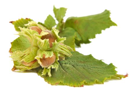 corylus: Hazel nuts or Corylus avellana with leaves isolated on white background Stock Photo
