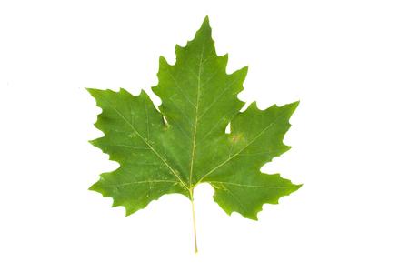 Close up of a green plane tree leaf (Platanus acerifolia, Platanus hispanica), isolated on white background