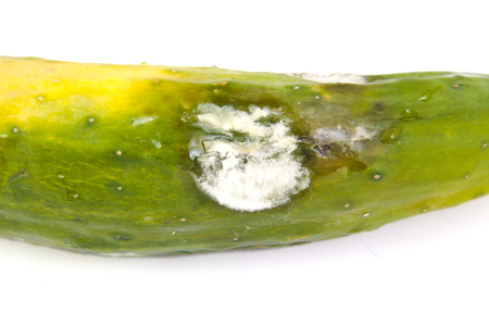 spoilage: Molded vegetable marrow or zucchini, isolated on a white background Stock Photo