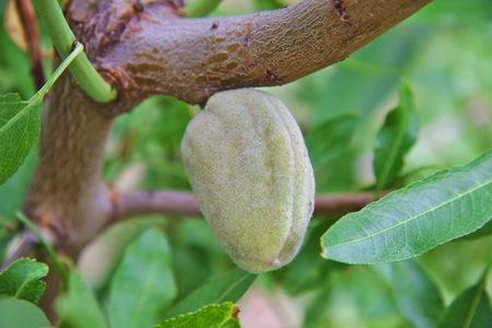 Single unripe almond on almond tree and some branches