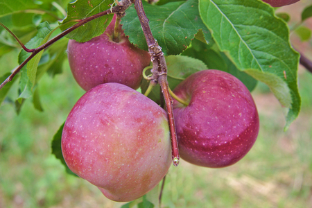 Fuji red or pink apples on tree