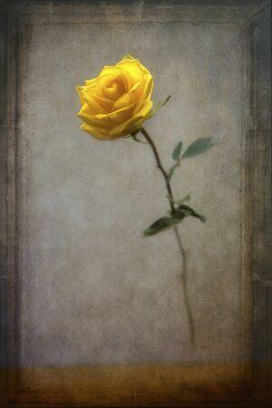Emerging yellow rose Фото со стока