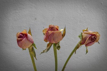 Aging red roses in vignette