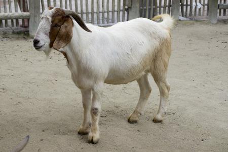 hoofed: Goat
