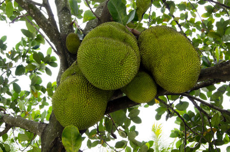 jacks: Jacks fruits