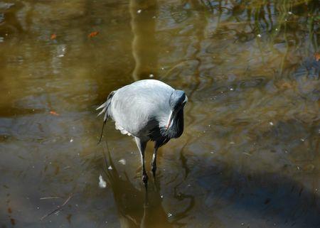 aquatic bird: Aquatic bird
