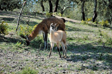 Lamas photo
