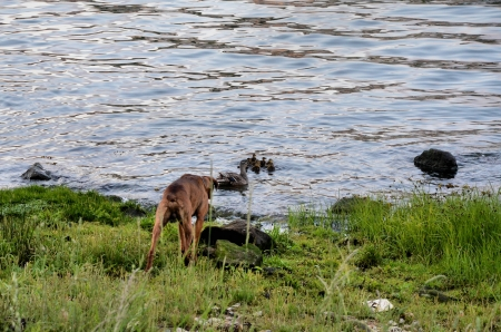 brood: Dog looking for a mother duck with her brood Stock Photo