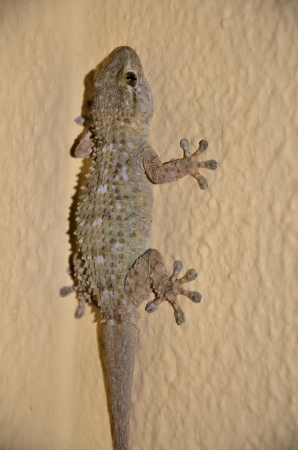 clinging: Yellow gecko clinging to a wall Stock Photo