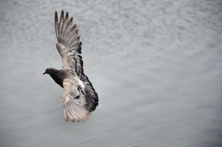 Pigeon flying over the river photo