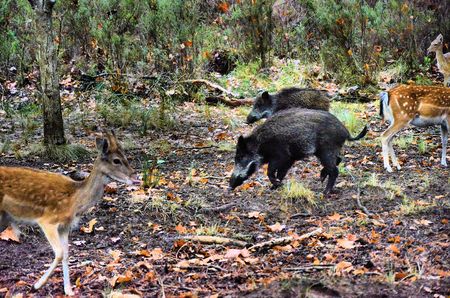 Deer and wild boar feeding in the forest photo