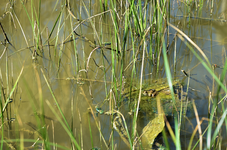marsh plant: Small green frog camouflaged among the plants