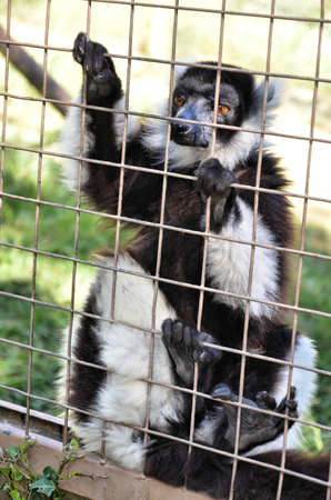 clinging: Lemur clinging to the cage bars