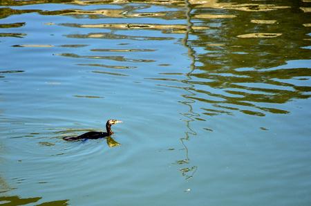 cormorant: cormorant