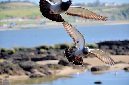 palomas volando: Un par de palomas volando sobre las orillas del r�o Duero Foto de archivo