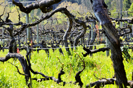 portugal agriculture: Traditional vineyard in the north of Portugal